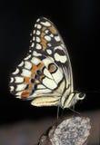 swallowtail chequered бабочкой стоковая фотография rf
