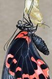 Swallowtail on cocon Royalty Free Stock Photos