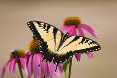 Swallowtail on Cone Flowers stock image