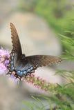 Swallowtail czarny Motyl zdjęcie royalty free