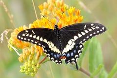 swallowtail czarny motyla Obrazy Royalty Free