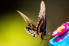 swallowtail czarny motyla Zdjęcia Stock