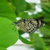 Swallowtail da borboleta na folha verde foto de stock royalty free