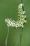 Swallowtail da lagarta imagem de stock royalty free