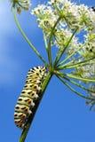 Swallowtail da lagarta fotos de stock