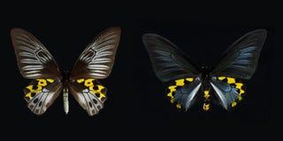Swallowtail de Birdwing Fotos de Stock
