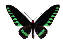 Swallowtail de Birdwing Fotografia de Stock