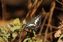 swallowtail de citron Image stock