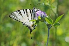 Swallowtail de guindineau (machaon de Papilio) Image libre de droits