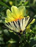 Swallowtail de la mariposa Imagen de archivo