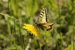 Swallowtail de la mariposa (machaon de Papilio) Imagen de archivo