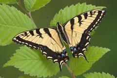 Swallowtail in de lente royalty-vrije stock afbeelding