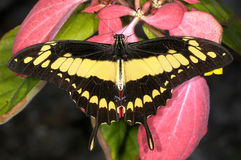 Swallowtail de Thoas, thoas de papilio Photographie stock libre de droits