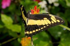 Swallowtail de Thoas, thoas do papilio fotografia de stock royalty free