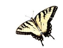 Swallowtail de tigre de Pâques photos stock
