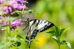 Swallowtail del este amarillo del tigre butterfy en la flor del bálsamo de abeja Fotos de archivo libres de regalías