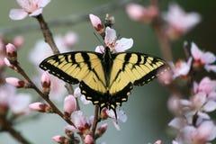 Swallowtail del tigre en el flor de la manzana Imágenes de archivo libres de regalías