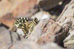 Swallowtail detalhado bonito do machaon da borboleta em uma rocha foto de stock