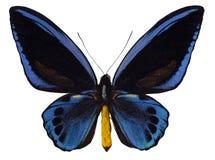 Swallowtail di Birdwing immagini stock libere da diritti