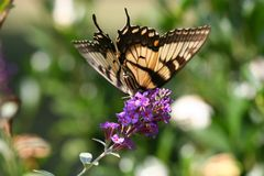 The Swallowtail Dive. Back Wings of Swallowtail Butterfly on Purple Butterfly Bush Royalty Free Stock Photo