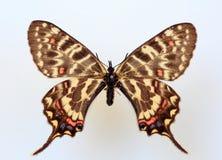 Swallowtail do dragão foto de stock royalty free