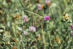 Swallowtail do Velho Mundo aterrado em uma flor do trevo imagens de stock