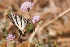 Swallowtail do Velho Mundo na flor cor-de-rosa do knapweed fotos de stock