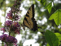 Swallowtail Dream. An Eastern Tiger Swallowtail gathers pollen from a purple-flowered Butterfly Bush plant Stock Photos