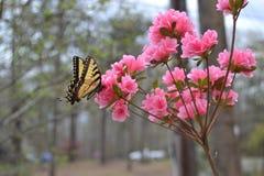 Swallowtail em flores da mola imagem de stock royalty free