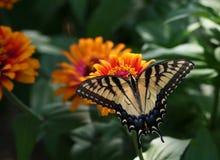 Swallowtail en la flor del Zinnia Foto de archivo libre de regalías