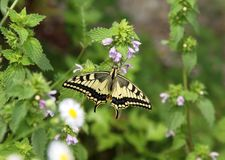 Swallowtail en pulegium del Mentha imagen de archivo