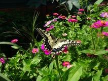 Swallowtail en una flor Imagen de archivo libre de regalías