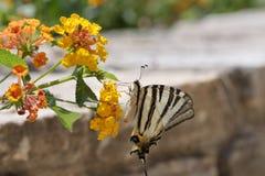 Swallowtail escaso Foto de archivo