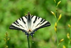 Swallowtail escaso Fotografía de archivo libre de regalías