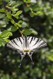 Swallowtail escaso, mariposa hermosa en la flor foto de archivo