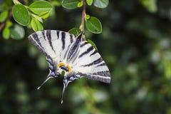 Swallowtail escaso, mariposa hermosa en la flor imagen de archivo