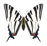 Swallowtail escaso. Vector Libre Illustration
