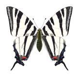 Swallowtail escaso. Vector Imagenes de archivo