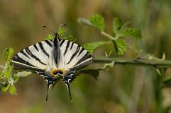 Swallowtail escasso foto de stock royalty free