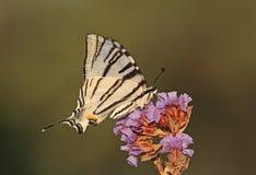 Swallowtail escasso foto de stock royalty free