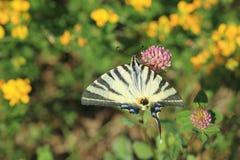 Swallowtail escasso buttefly fotografia de stock