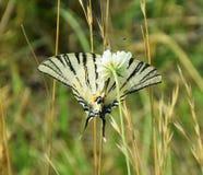Swallowtail escasso - néctar bebendo da borboleta imagem de stock royalty free