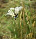 Swallowtail escasso - néctar bebendo da borboleta imagens de stock