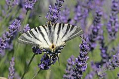 Swallowtail escasso na flor da alfazema, France imagens de stock royalty free
