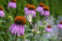Swallowtail escasso na planta de florescência do purpurea do Echinacea, coneflower roxo oriental na flor fotos de stock