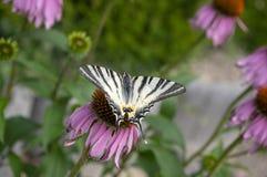Swallowtail escasso na planta de florescência do purpurea do Echinacea, coneflower roxo oriental na flor imagens de stock
