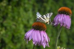 Swallowtail escasso na planta de florescência do purpurea do Echinacea, coneflower roxo oriental na flor fotos de stock royalty free