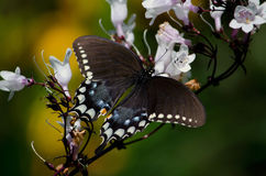 Swallowtail et cloches blanches Photo stock