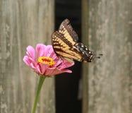 Swallowtail fêmea em uma flor cor-de-rosa do zinnia fotografia de stock