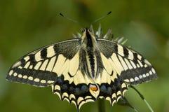 swallowtail för fjärilsmachaonpapilio Royaltyfri Foto